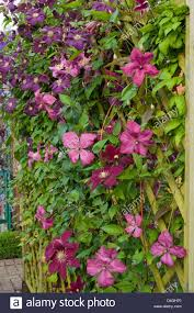 clematis on trellis varieties include u0027niobe u0027 u0027inspiration u0027 and