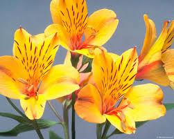alstroemeria flower alstroemeria peruvian meaning devotion wealth