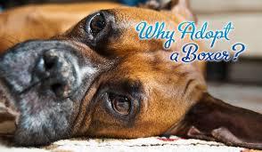 boxer dog breeders near me adoption blue ridge boxer rescue