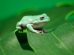 introduction and care of pet white u0027s tree frogs