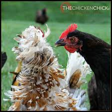 most backyard chicken keepers have no access to a veterinarian