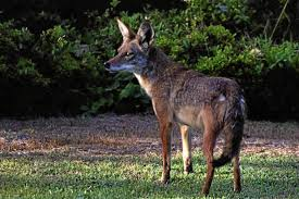 Coyote In My Backyard South Bay Harbor Area Residents Learning To Live With Coyotes