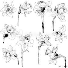 Flower Drawings Black And White - 126 best flowers drawing of daffodil images on pinterest