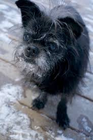 affenpinscher loyalty ladybird animal sanctuary ladybird animal sanctuary bitsy