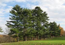 white pine trees eastern white pine pinus strobus cape cod tree service
