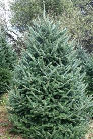 fraser fir christmas tree frasier fir tree trees guide to winter decor fir
