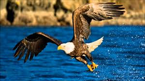 bald eagle sound effects youtube