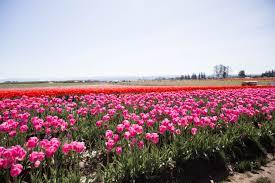 Tulip Field Tulip Field