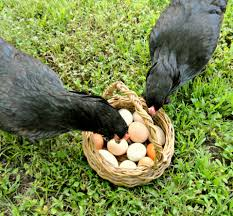 how to raise backyard chickens ducks and geese images with
