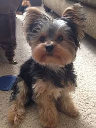 haircuts for yorkies yorkie puppy yorkies haircuts yorkie haircut yorkshire terrier