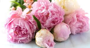 Peony Flower How To Grow Stunning Peonies Better Homes And Gardens
