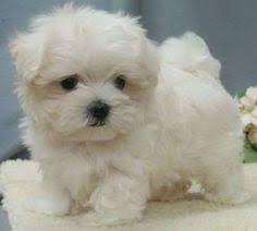 australian shepherd puppies for sale 34655 maltese teacup puppies for sale teacup maltese puppy for sale
