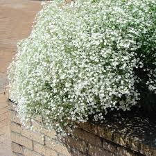 babys breath prairie baby s breath prairie baby s breath friends