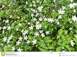 gardenia jasminoides or cape jasmine stock photo image 69127886