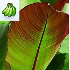 ensete maurelii abyssinian banana tree ensete maurelii