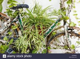 palma mallorca spain old bike covered with house plants in