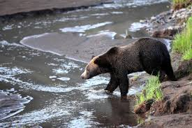 Bears Montana Hunting And Fishing - us officials to lift yellowstone grizzly bear protections wyoming