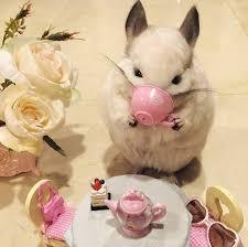 cutest chinchilla photos ever the hollywood gossip