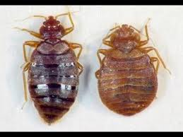What Kills Bed Bug Eggs Kill Bed Bugs With Salt Not Traps Youtube