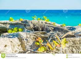 Iguana Island Iguana In Wildlife Cancun Mexico Stock Photo Image 88074836