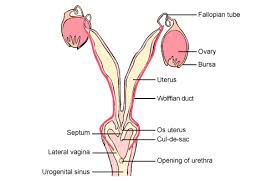Anatomy Of Female Reproductive System Fleays Wildlife Reproductive Anatomy And Physiology