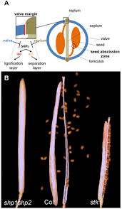 seed abscission and fruit dehiscence required for seed dispersal