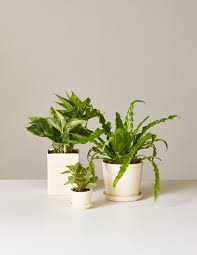 Low Light House Plant Low Light Houseplants Indoor Plants Delivered U2013 The Sill
