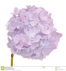 Purple Hydrangea Beautiful Light Purple Hydrangea Flowers On White Background Stock