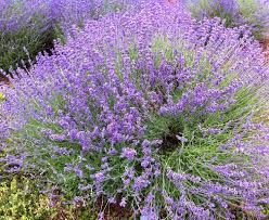 lavender grows well in georgia need to add lime to soil makes it