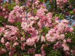 Pom Trees Love Joy And Peas Cherry Blossom Pom Pom Flower Photos U0026 Haiku Poem