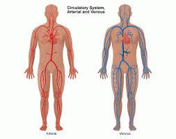 Abdominal Anatomy Quiz Anatomy Vein Artery
