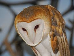 North American Barn Owl White Owls In Kentucky Creasey Mahan Nature Preserve