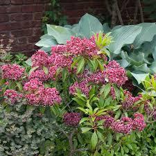 kalmia latifolia kalmia latifolia u0027keepsake u0027 white flower farm