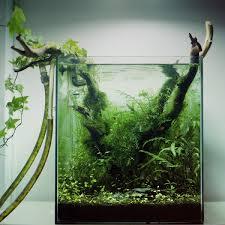 Japanese Aquascape by Plants Rotala Sp Green Hygrophila Polysperma Bolbitis
