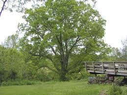pecan tree low maintaince landscape pecan trees to welcome and