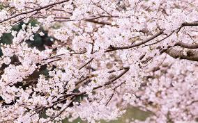 cherry tree branches 4k hd desktop wallpaper for 4k ultra hd tv