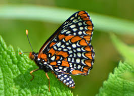 past projects bring the baltimore checkerspot butterfly back to