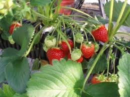what are the best plants for aquaponics