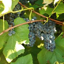 buy alwood grape vines for sale double a vineyards