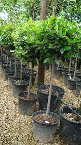 Topiary Plants Online - topiary bay trees topiary bay tree lollipops buy online uk