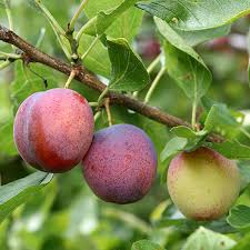 methley plum tree for sale fast growing trees