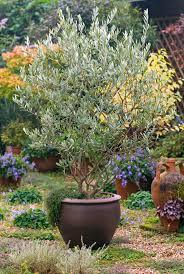 best 25 sweet olive tree ideas on arbequina olive