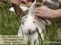 why we chose to homestead with meat rabbits a farm in the