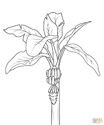 download banana tree coloring page ziho coloring