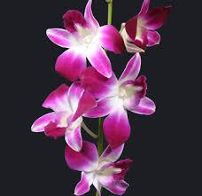 dendrobium orchid bom dendrobium orchid