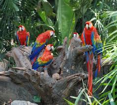 parrot facts habits habitat u0026 species
