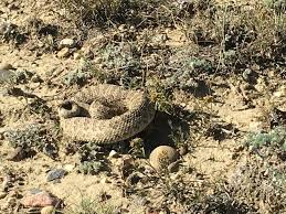 rattlesnake mitigation program