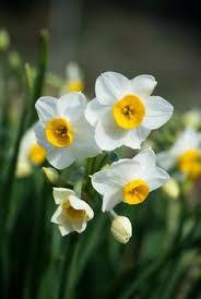 Ideas For Daffodil Varieties Design Pinterest U2022 The World U0027s Catalog Of Ideas