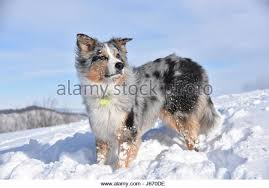 australian shepherd frisbee dog frisbee stock photos u0026 dog frisbee stock images alamy