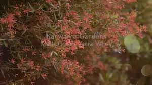 small native plants for australian gardens karwarra australian native plant garden melbourne u0027s dandenong